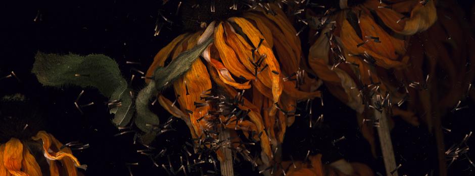 Echinacea by Harald Geisler, Detail 4